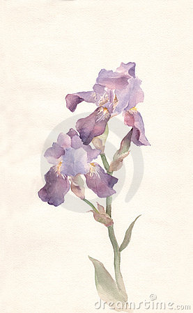 Free Violet Iris Watercolor Painting Royalty Free Stock Photography - 4862537