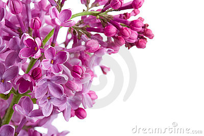 Violet Lilac Branch On White Royalty Free Stock Photos - Image: 5790618