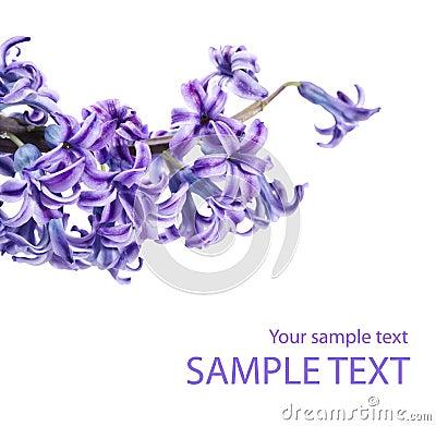 Violet lilac flower twig