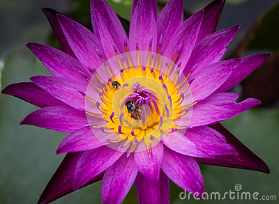 Violet lotus and small bee
