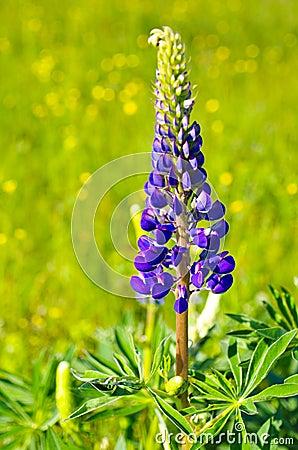 Violet lupine