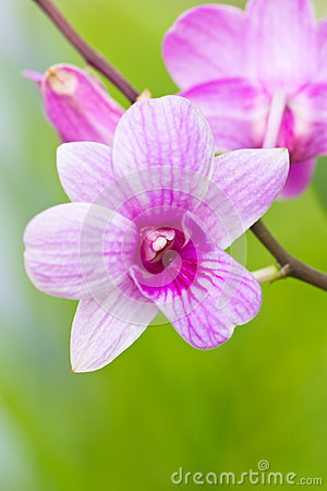 Violet orchid.