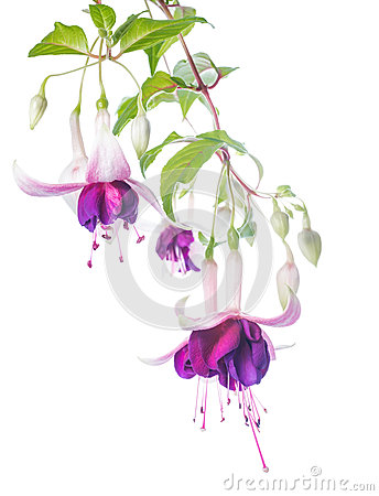 Violet and pink fuchsia flower with bud isolated
