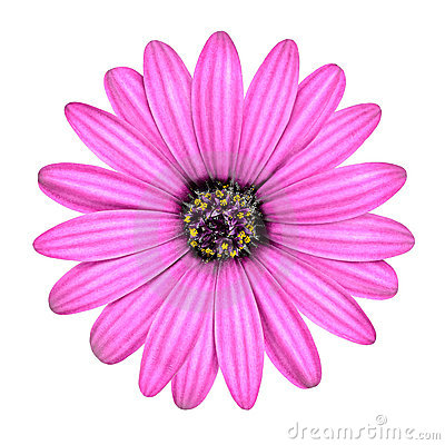 Violet Pink Osteosperumum Flower Isolated on White