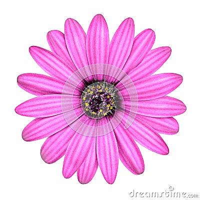 Violet Pink Osteosperumum Flower Isolated on White