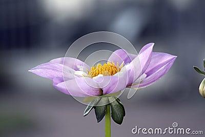 Violet rare dahlia