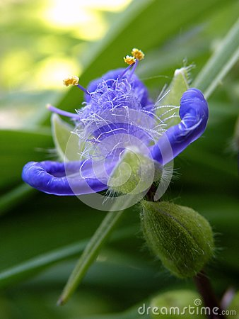 Free Violet Spiderwort Flower Close Up Stock Photo - 111781500