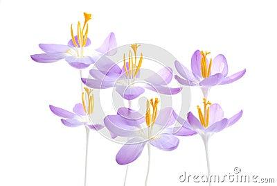 Violet spring crocus