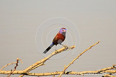 Violet on a Stick - Waxbills, Violeteared