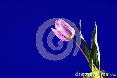 Violet tulip flower