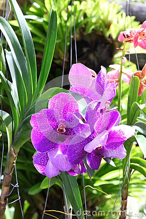 Violet Vanda orchid