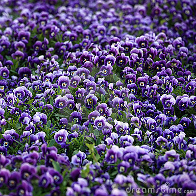 Free Violet Viola Flowers Royalty Free Stock Photography - 11803457