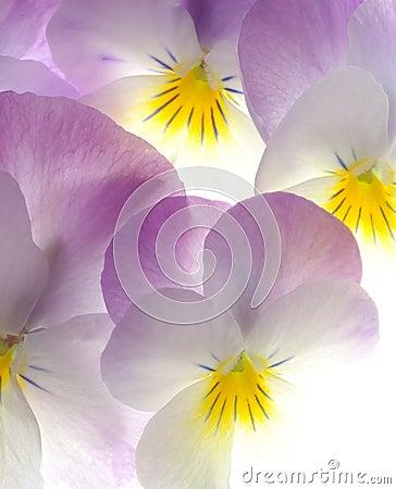 Violet viola tricolor