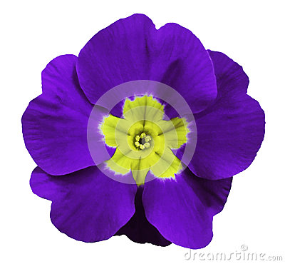 Free Violet Violets Flower White Isolated Background With Clipping Path. Closeup. No Shadows. For Design. Royalty Free Stock Photography - 87345197