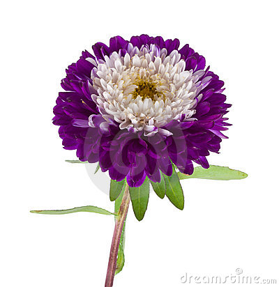 Violet-white aster isolated