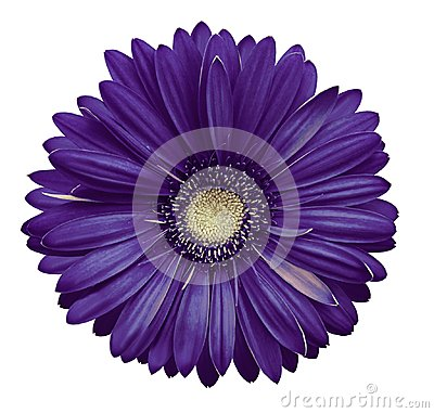 Free Violet-white Gerbera Flower, White Isolated Background With Clipping Path.   Closeup.  No Shadows.  For Design. Stock Photos - 110687113