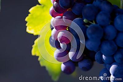 Violet wine grapes