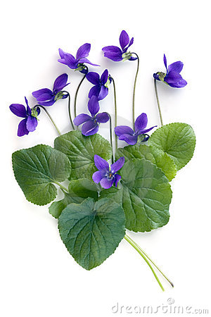 Free Violets Royalty Free Stock Images - 15791599
