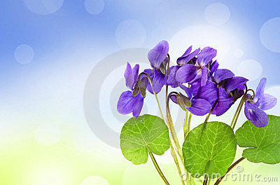 Violets in a grass and bokeh