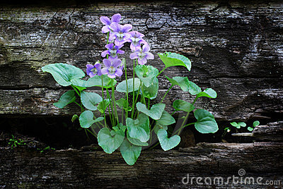 Violets growing in Wooden Wall