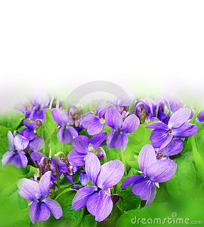 Violets on a meadow