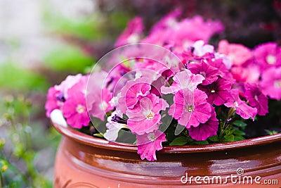Violets in a pot