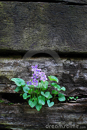 Violets on a Wall with Copy Sp