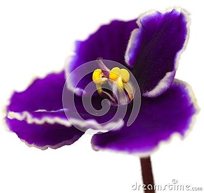 Violette africaine image stock image 33692631 for Violette africane