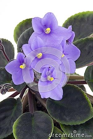 Violette africaine photos stock image 4733073 for Violette africane