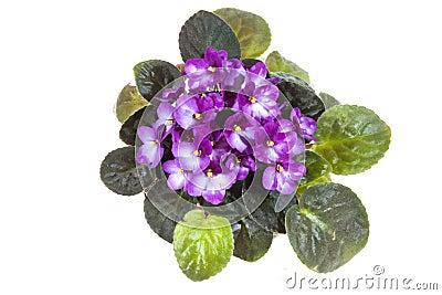 Violette africaine avec la masse des fleurs mauve photo for Violette africane
