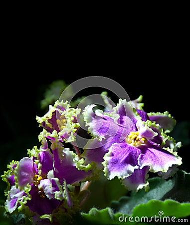 Violette africaine de floraison d 39 isolement sur le noir for Violette africane