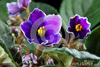 Violette africaine saintpaulia images stock image 4122994 for Violette africane