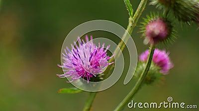 Violette Blumen auf einem Busch stock footage