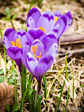 Violette krokusbloemen