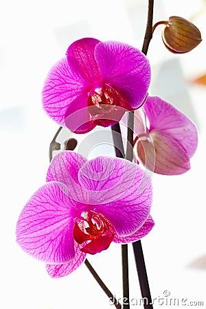 Violette orchideeën