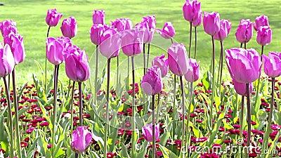 Violette tulpen in het park op een de lentedag lengte stock video video 54546749 - Amenager een stuk in de lengte ...