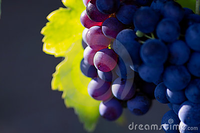 Violette wijndruiven