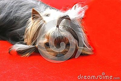 The VIP  dog