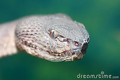 Viper head
