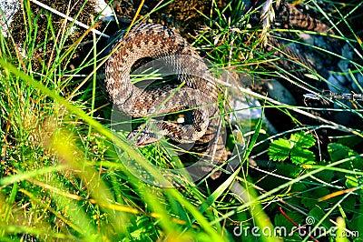 Viper snake hiding
