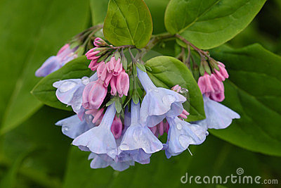 Virginia Bluebell Spring Bloom Blue Pink Flower