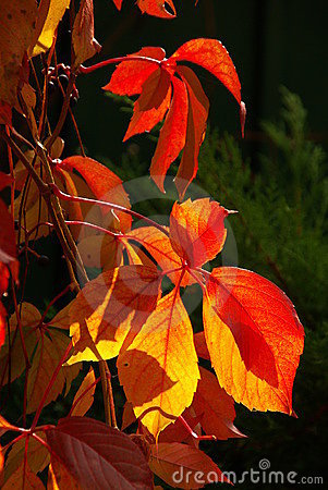 Virginia creeper 06