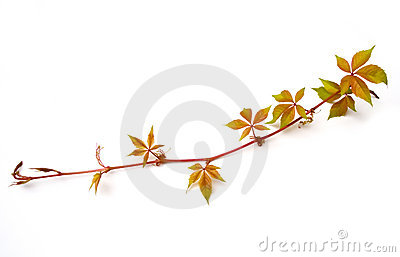 Virginia Creeper Isolated