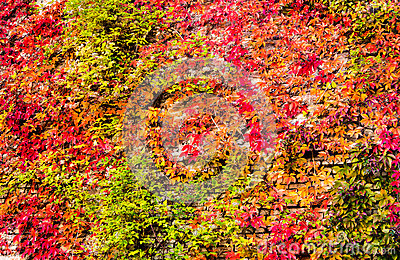 Virginia creeper ivy background