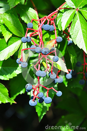 Virginia creeper (Parthenocissus quinquefolia)