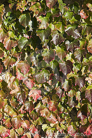 Virginia creeper in the sunlight
