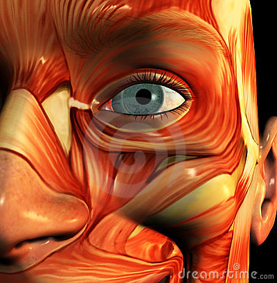 Visage 5 de muscle
