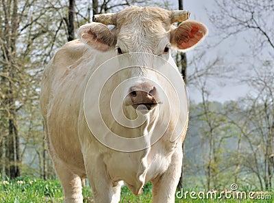 visage-de-vache-du-charolais-thumb19451505