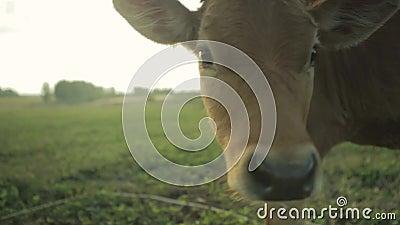 Visage du ` s de veau de vache à Brown dans un domaine clips vidéos