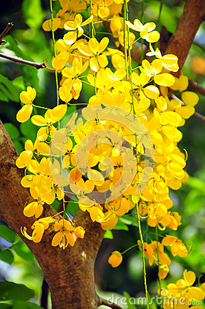Cassia fistula, known as the golden shower tree and by other names, is ...